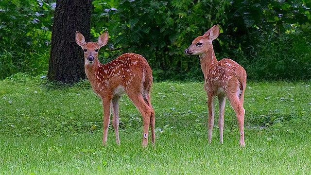 双子の小鹿